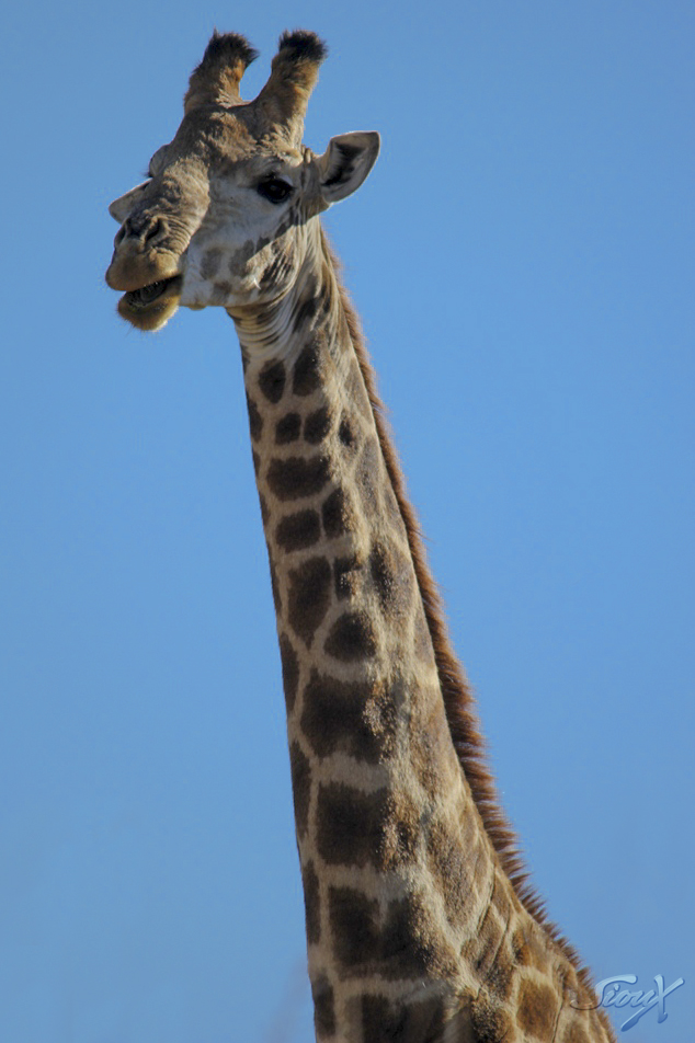 Giraffe LR (1 of 1)