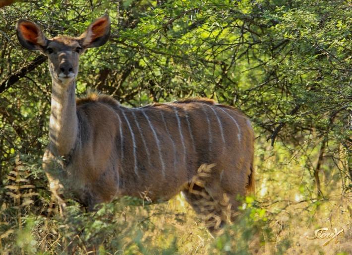 Kudu LR (1 of 1)