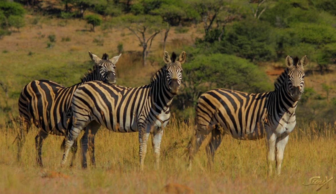 Zebra1 LR (1 of 1)