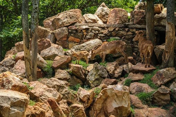 IMG_5683 Barbary sheep LR (1 of 1)