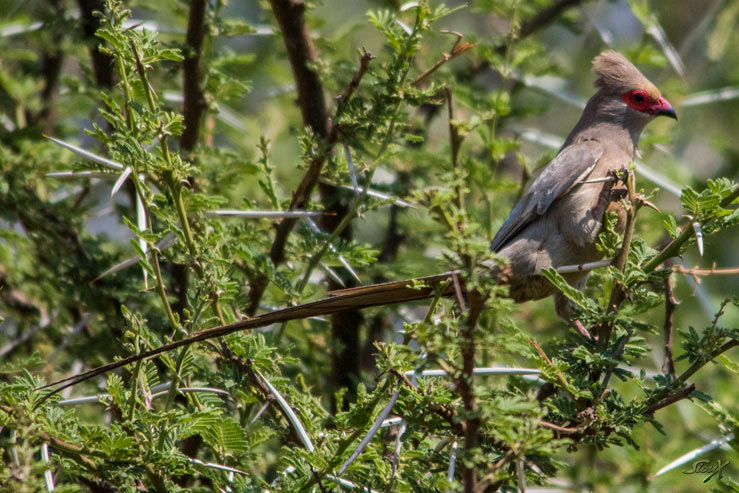 IMG_5949-red-faced-mousebird-LR-(1-of-1)